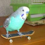 Дрессировка попугая