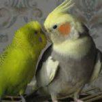 Кто лучше — неразлучник, волнистый попугай или корелла?