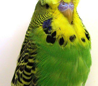 Виды окрасов волнистых попугаев