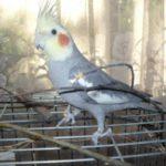 Можно ли приучить попугая к туалету?