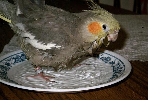 Как научить попугая купаться?