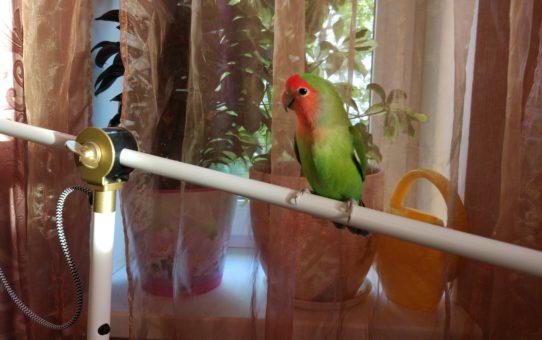 Как приучить попугая к фруктам и овощам?