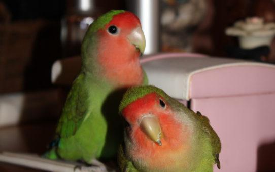 Карантин для новой птицы, знакомство с первой