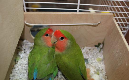 Как понять, что самка попугая скоро снесет яйцо?