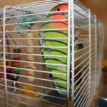 Брать одного попугая неразлучника или пару?