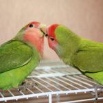 Фото подборка попугаи неразлучники