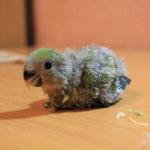Помет попугая