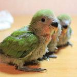 Возможные проблемы при разведении птенцов