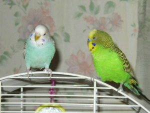 Средние и волнистые попугаи в домашних условиях
