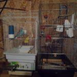 Как переселить попугая в новую клетку