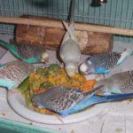 Как варить кашу для попугая неразлучника?