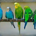 Где купить волнистого попугая?