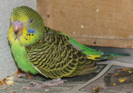 Причины смерти попугая