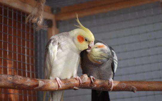 Подготовка к гнездованию корелл. Факторы допуска птиц к гнездованию