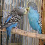 Брать одного волнистого попугая или пару?