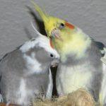 Сколько живут попугаи кореллы?