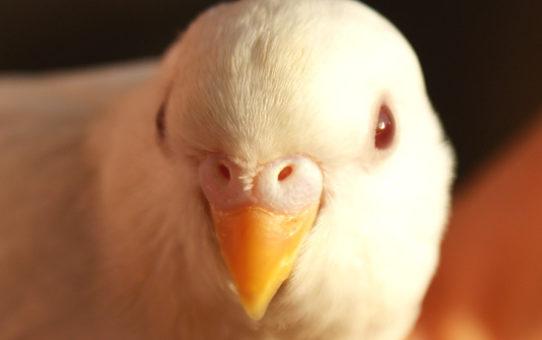 Как назвать волнистого попугая