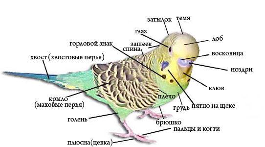 Строение тела волнистого попугая. Название всех частей тела