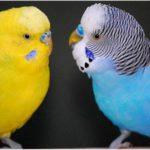 Как определить пол волнистого попугая