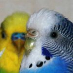 Определение возраста волнистого попугая
