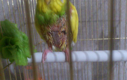 Самоощип попугая