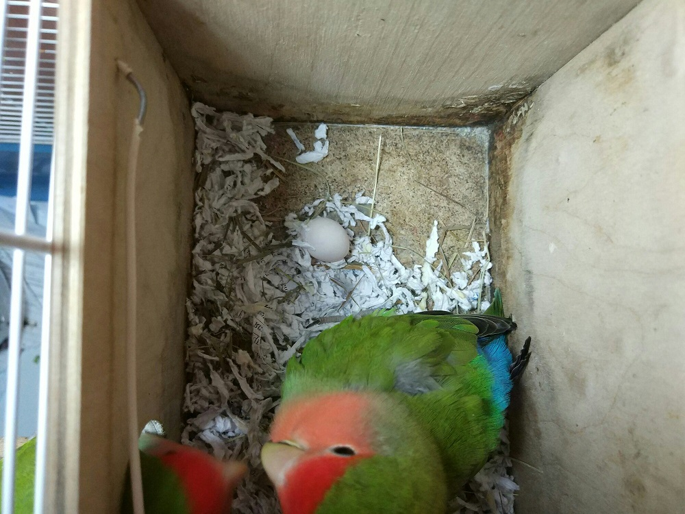 первое яйцо попугая