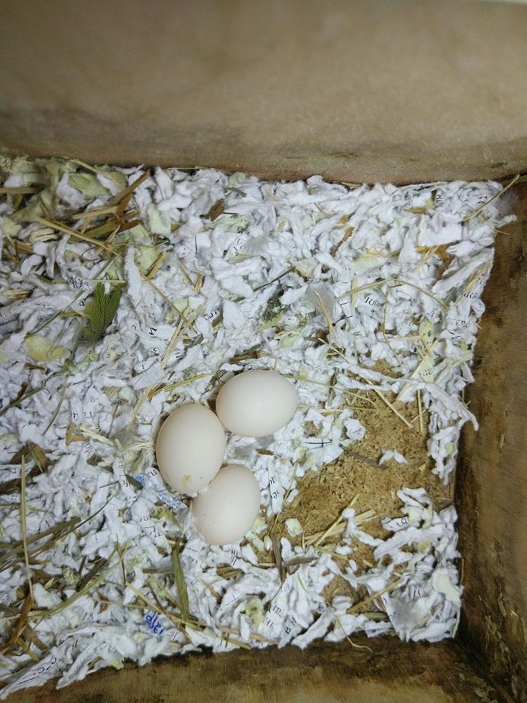 яйца попугаев