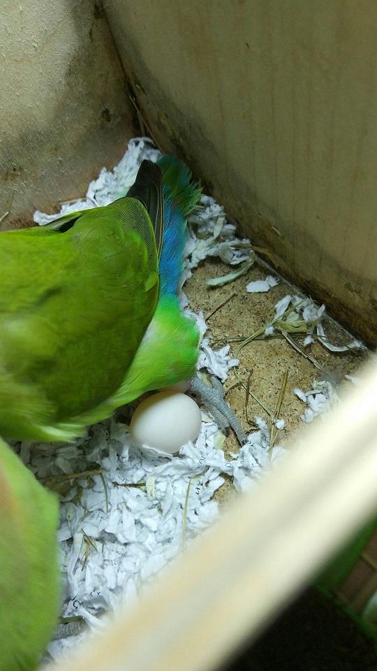 второе яичко попугай неразлучник