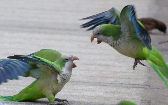 Попугаи дерутся, почему и что делать