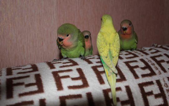 Дружба или война между волнистым попугаем и неразлучником?
