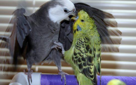 Можно ли содержать птиц разных видов вместе