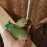 Проданы. Птенцы попугая неразлучника — г. Москва (г. Люберцы) — №3