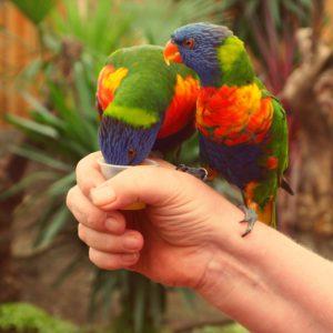 Питание попугая лорикета