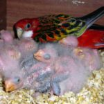 Размножение розелл в домашних условиях