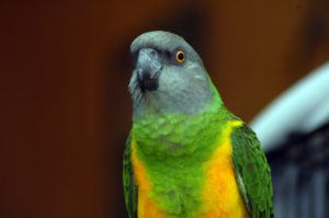 возраст сенегальского попугая