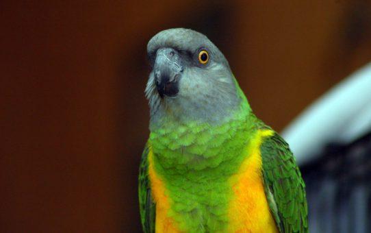 Возраст и пол сенегальского попугая