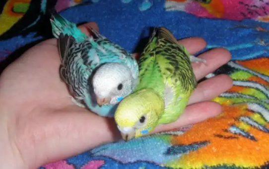 Почему попугаи не спариваются