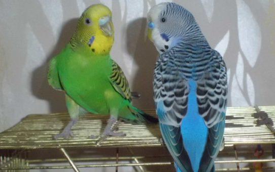 попугай линяет