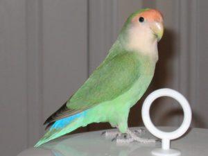 попугай скрипит клювом