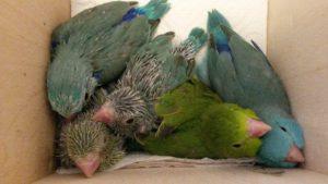 размножение воробьиных попугаев