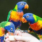 Размножение попугаев лорикетов