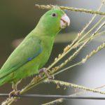Содержание воробьиных попугаев дома