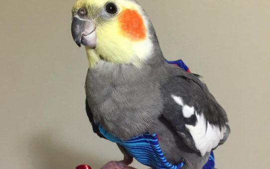Памперсы для попугаев
