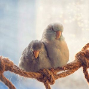 воробьиные попугайчики