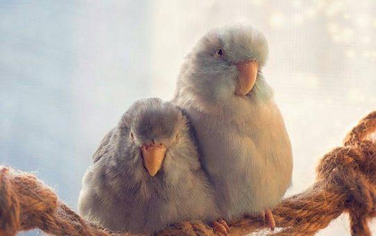 Размножение воробьиных попугаев в домашних условиях