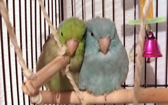 Питание воробьиных попугаев. Рацион. Что можно и нельзя давать.
