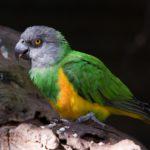 Содержание сенегальского попугая