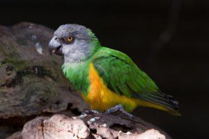 cенегальский попугай