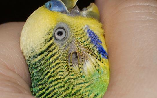 Уши у попугая