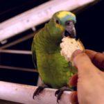Можно ли попугаям хлеб